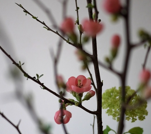 cognassier du japon, viburnum,